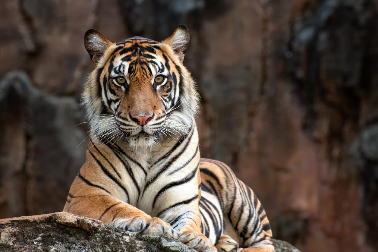 <p>8. Няма два тигъра с еднакви ивици</p>  <p>Това прави всеки един екземпляр уникален.</p>