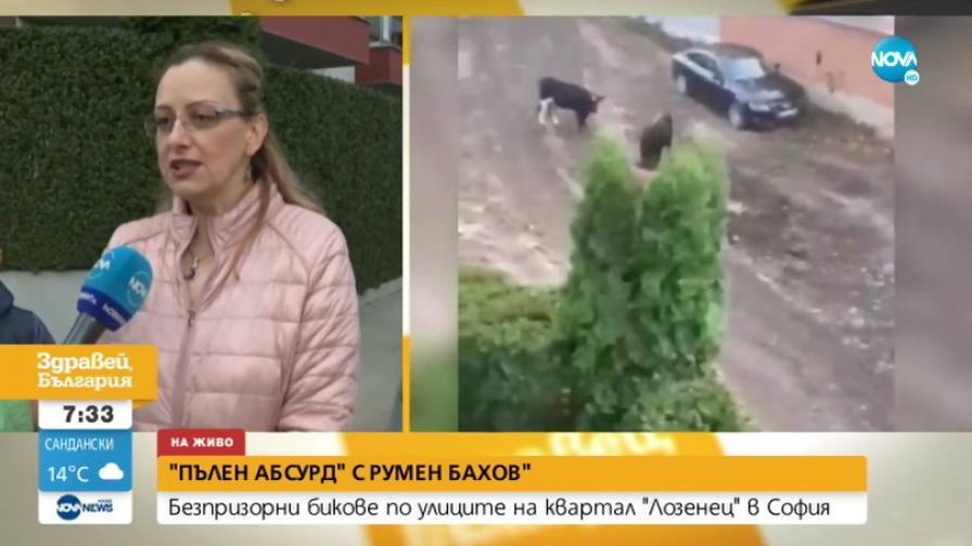 """Абсурд: Безстопанствени бикове тормозят жителите на кв. """"Лозенец"""""""