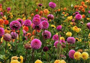 Да се погрижим за есенните цветя
