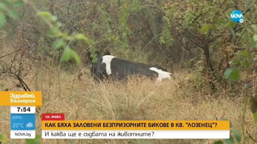 """Неочаквана развръзка с безпризорните бикове, тормозещи жителите на """"Лозенец"""""""
