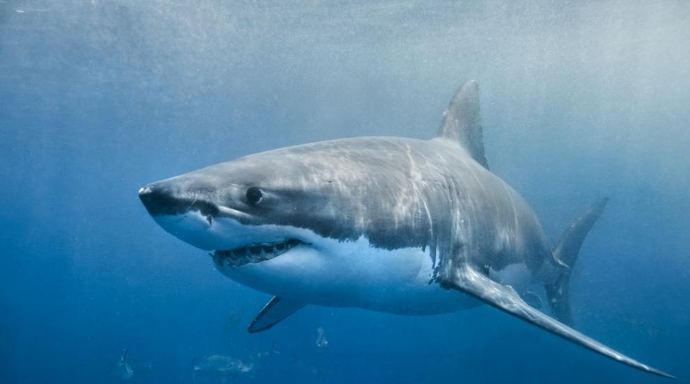 Акула разкъса човек в плитки води в Австралия