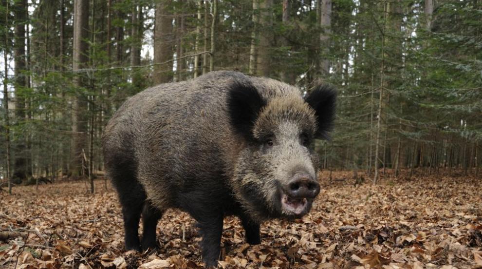Заразено с чума диво прасе засечено от БАБХ