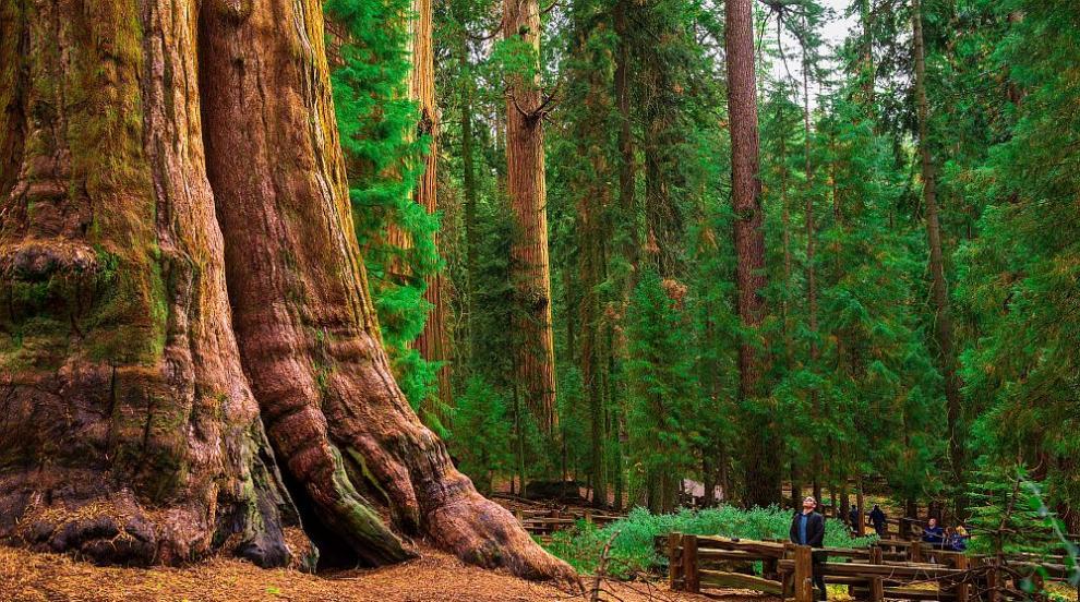 Колко тона тежат гигантските секвои в Калифорния