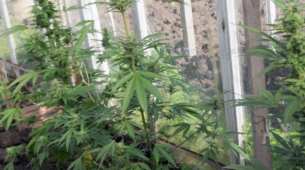 Разкриха внушителна наркооранжерия в бивш завод в...