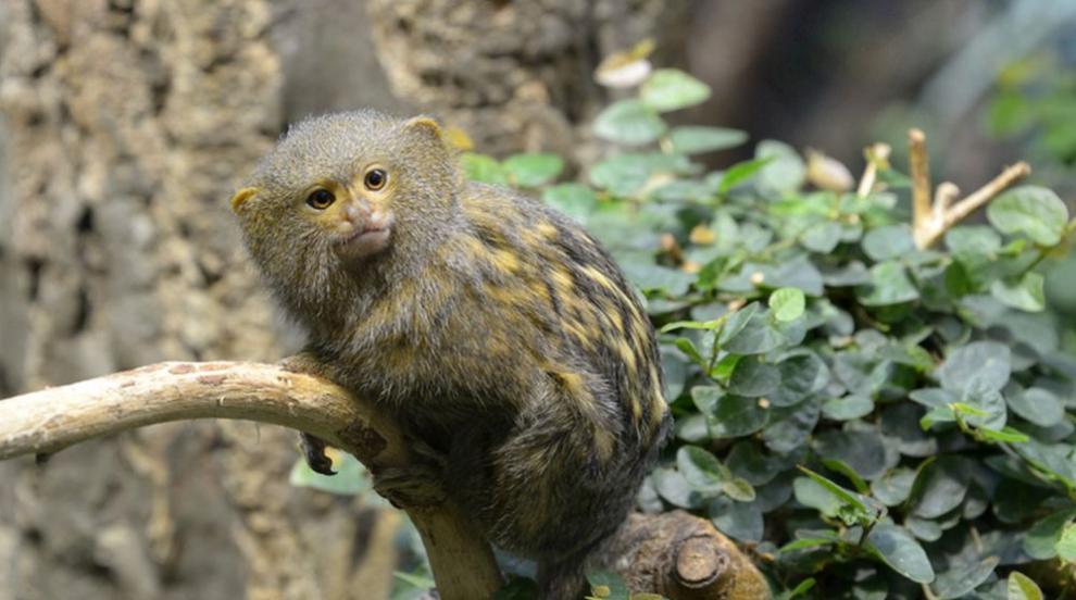 Това е най-дребната маймунка в света (СНИМКИ/ВИДЕО)
