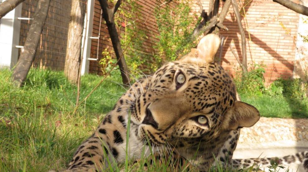 Софийският зоопарк получи персийски леопард (СНИМКИ)