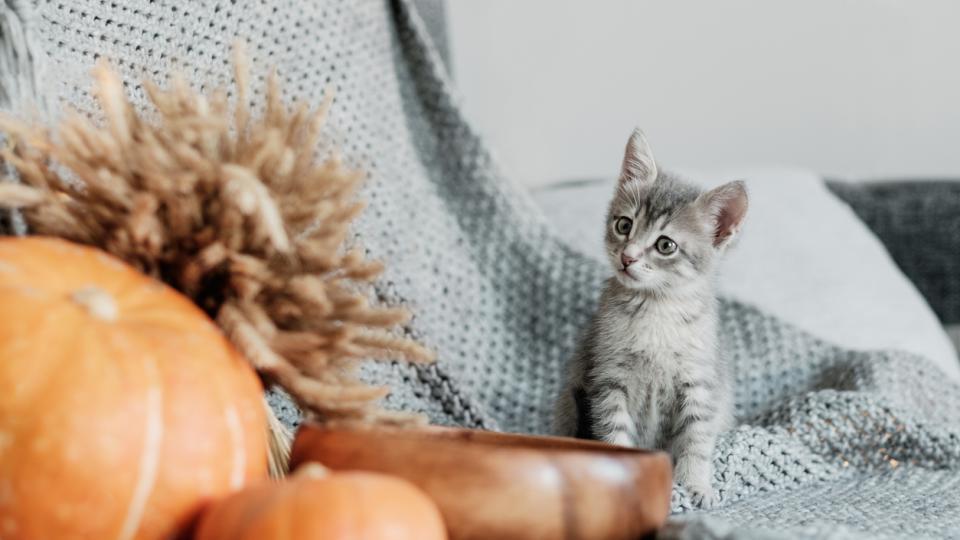 дневен котка есен
