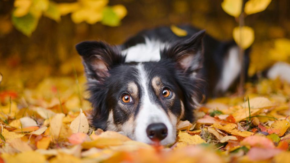 куче есен