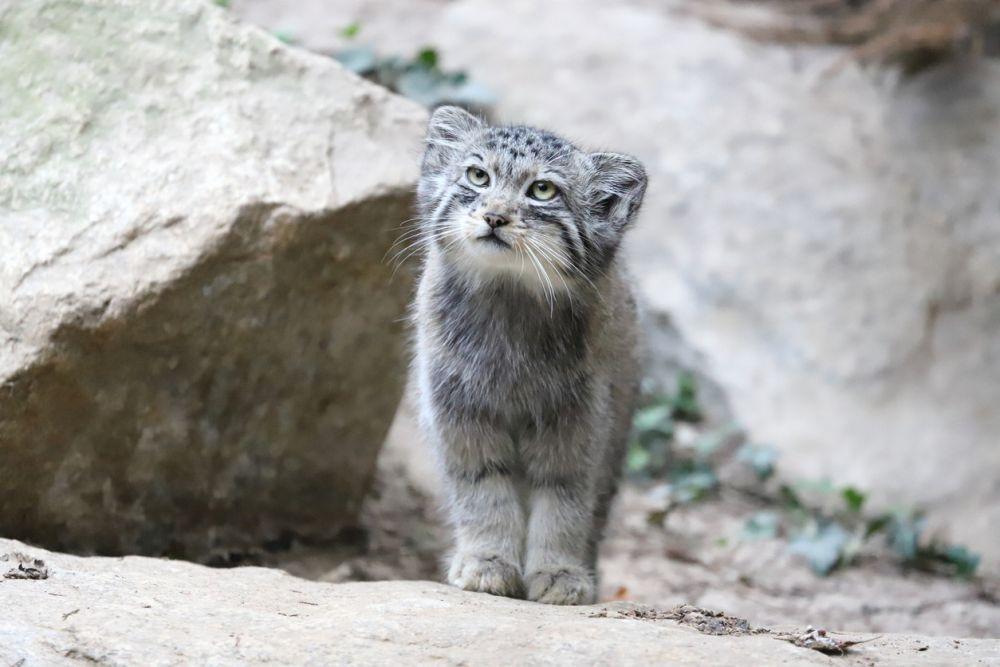Външно манулът, наричан по името на откривателя си още котка на Палас, много прилича на обикновена котка, даже изглежда още по-сладка и беззащитна, но това е само на пръв поглед. Зъбите на манула са 3 пъти по-големи от тези на домашните котки. Те лесно побеждават по-едри хищници като лисиците. Котката на Палас може да се сравни с вълк: въпреки че принадлежи към семейството на котките, не я приемайте като коте - тя води хищнически начин на живот и е свирепа. Дори опитомен манулът е много опасен за хората.
