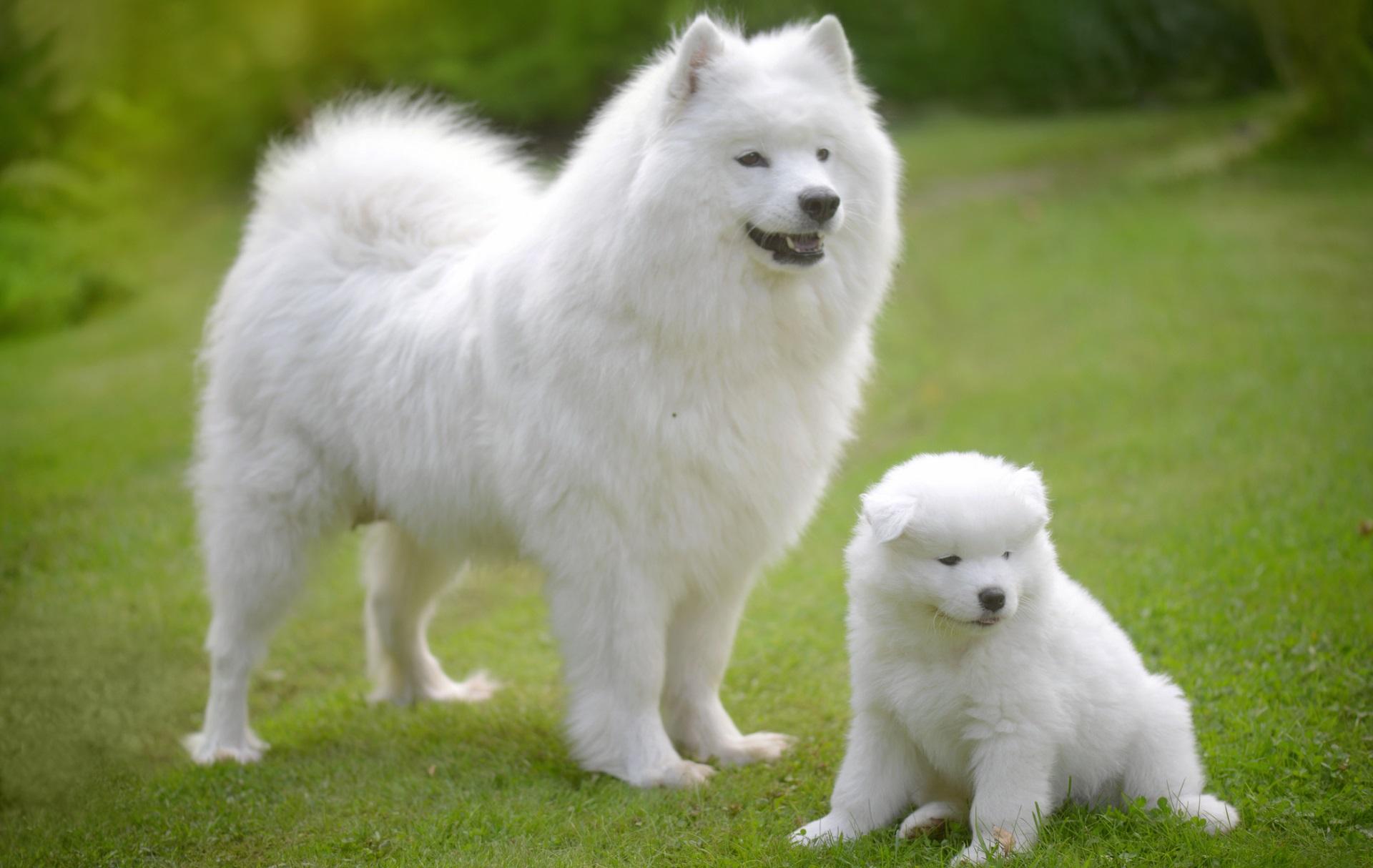<p><strong>Самоед</strong></p>  <p>Сибирски кучета, отглеждани от номадски овчари на северни елени за пазачи на стадото и теглене на шейни - днес самоедите са едни от най-скъпите кучета и се продават за между 6500 и 12 000 долара. Това е любяща и игрива порода, която се разбира добре със семейството си, те са отлични спътници за малки деца и за хора в напреднала възраст.</p>