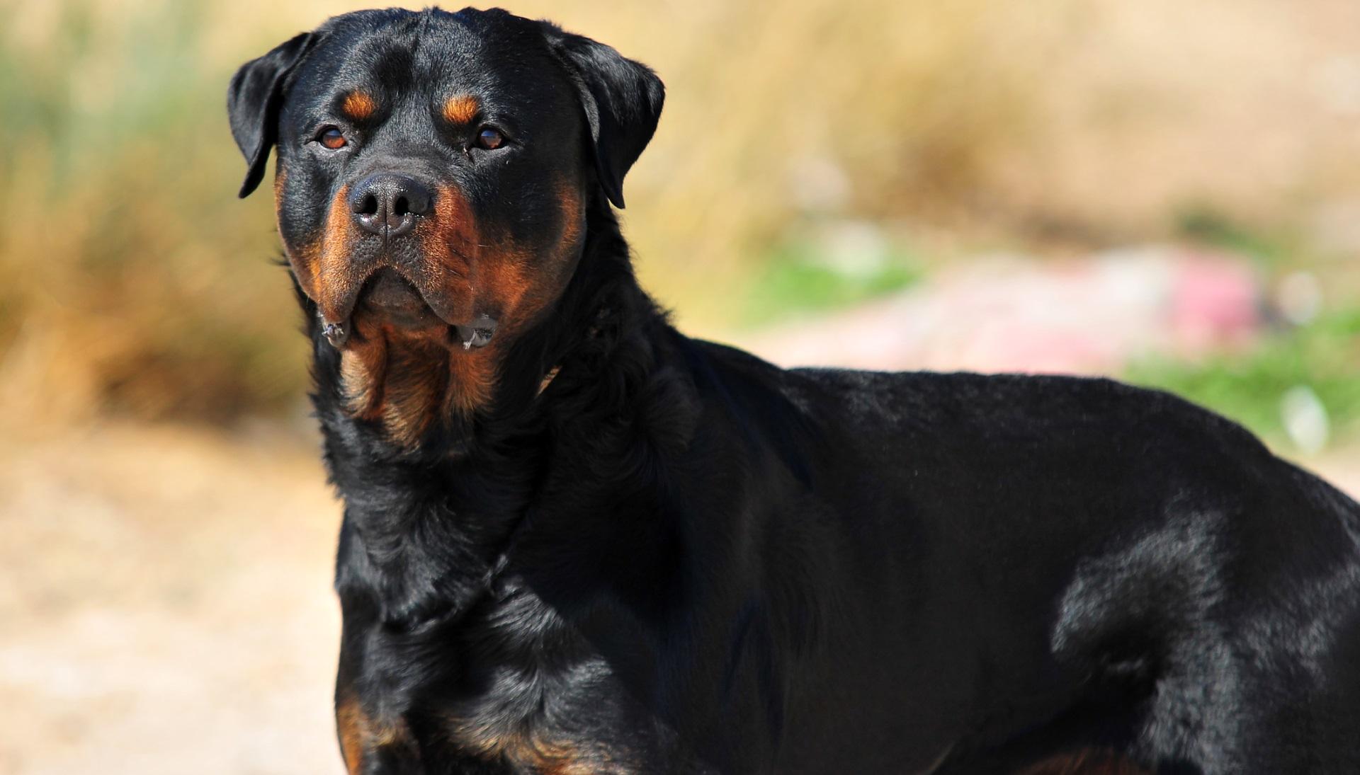 <p><strong>Ротвайлер</strong></p>  <p>Голяма порода домашни кучета, която е добродушна, спокойна, предана и послушна. Днес те се използват като полицейски, военни и кучета компаньони. Те обаче могат да бъдат прекалено агресивни към непознати и други животни. Куче от тази порода е с цена минимум 7000 долара.</p>