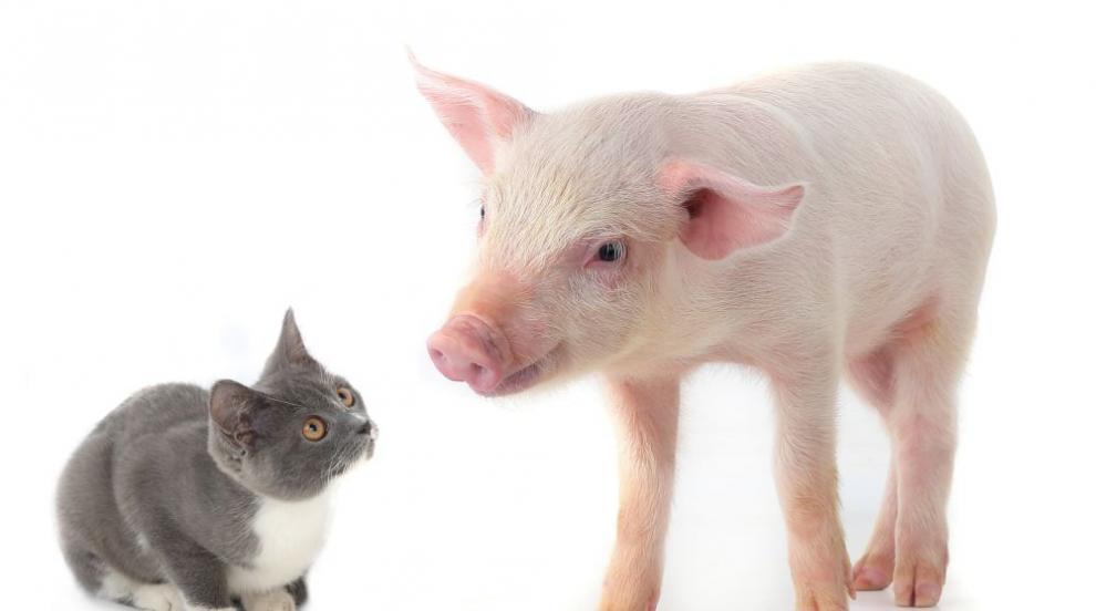 Учени: Малко вероятно е прасетата да предават вируса,...