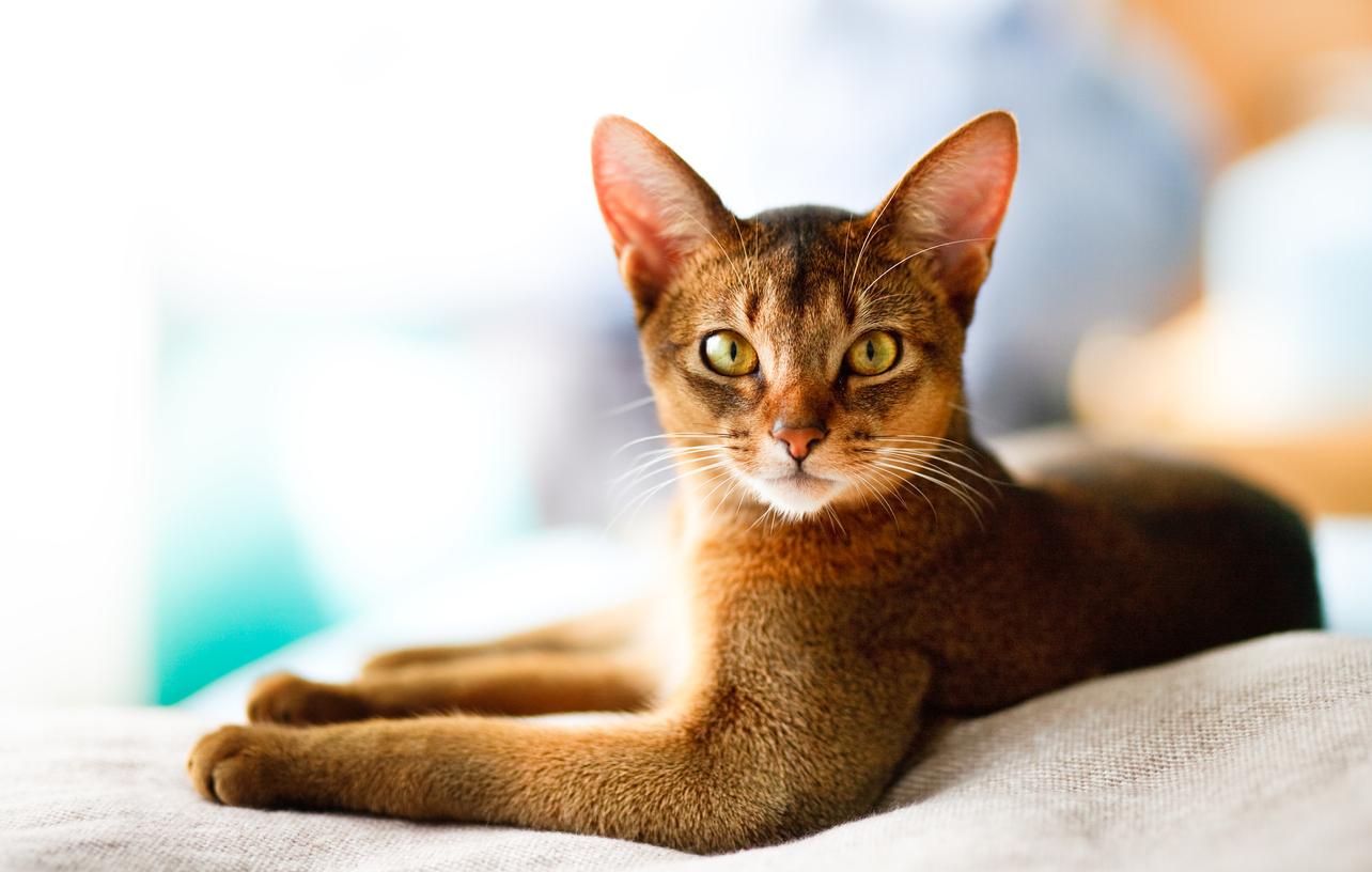<p><strong>Абисинска котка</strong> -&nbsp;Представителите на тази порода са много интелигентни и любознателни. Абисинците не са от котките, които може да се нарекат гальовни, но обичат да бъдат обгрижвани от своите стопани. Абисинските котки са атлетични, пъргави и обичат да се катерят. Подлежат на дресировка и ако подходите правилно към тях, ще имате за домашен любимец гальовна и умна котка.&nbsp;</p>