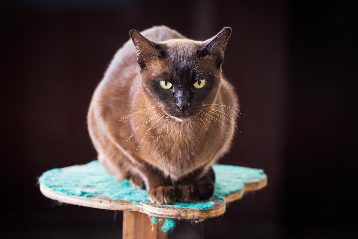 <p>Бирманска котка - Това е енергична и приятелски настроена порода, която обича присъствието на стопаните си. Тези котки са интерактивни с хората, умни, адаптивни и игриви. Бирманските котки произхождат от Бирма (сега известна като Мианмар), където се смята, че са били&nbsp;отглеждани от свещеници в храмовете и дворците.</p>