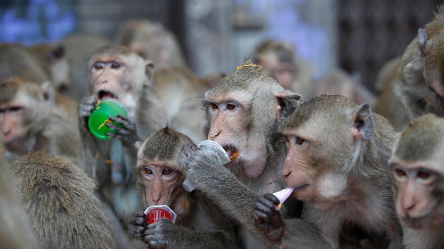Банкета на маймуните