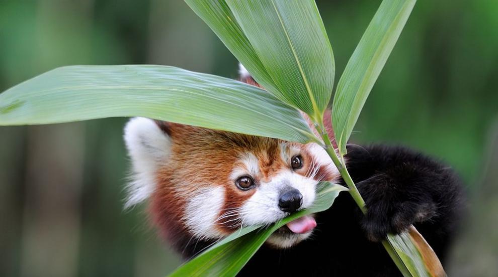 Червените панди Ичиха и Попо направиха своя дебют...