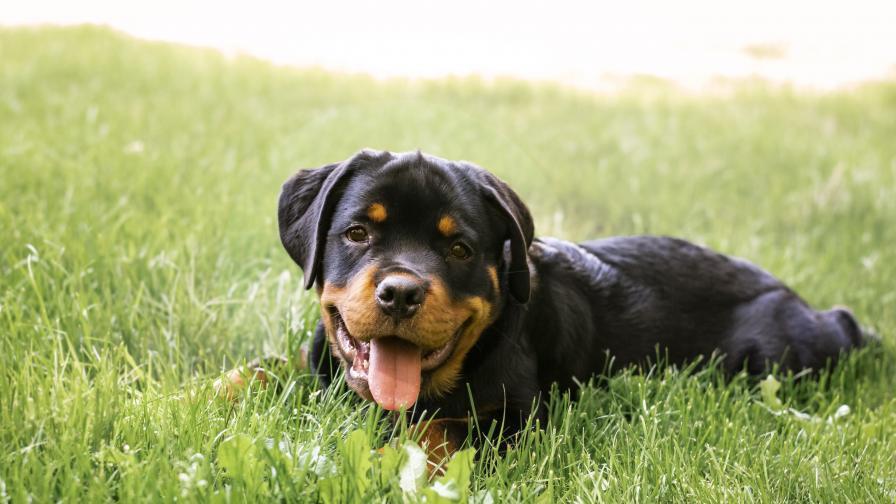 Кои са най-опасните породи кучета