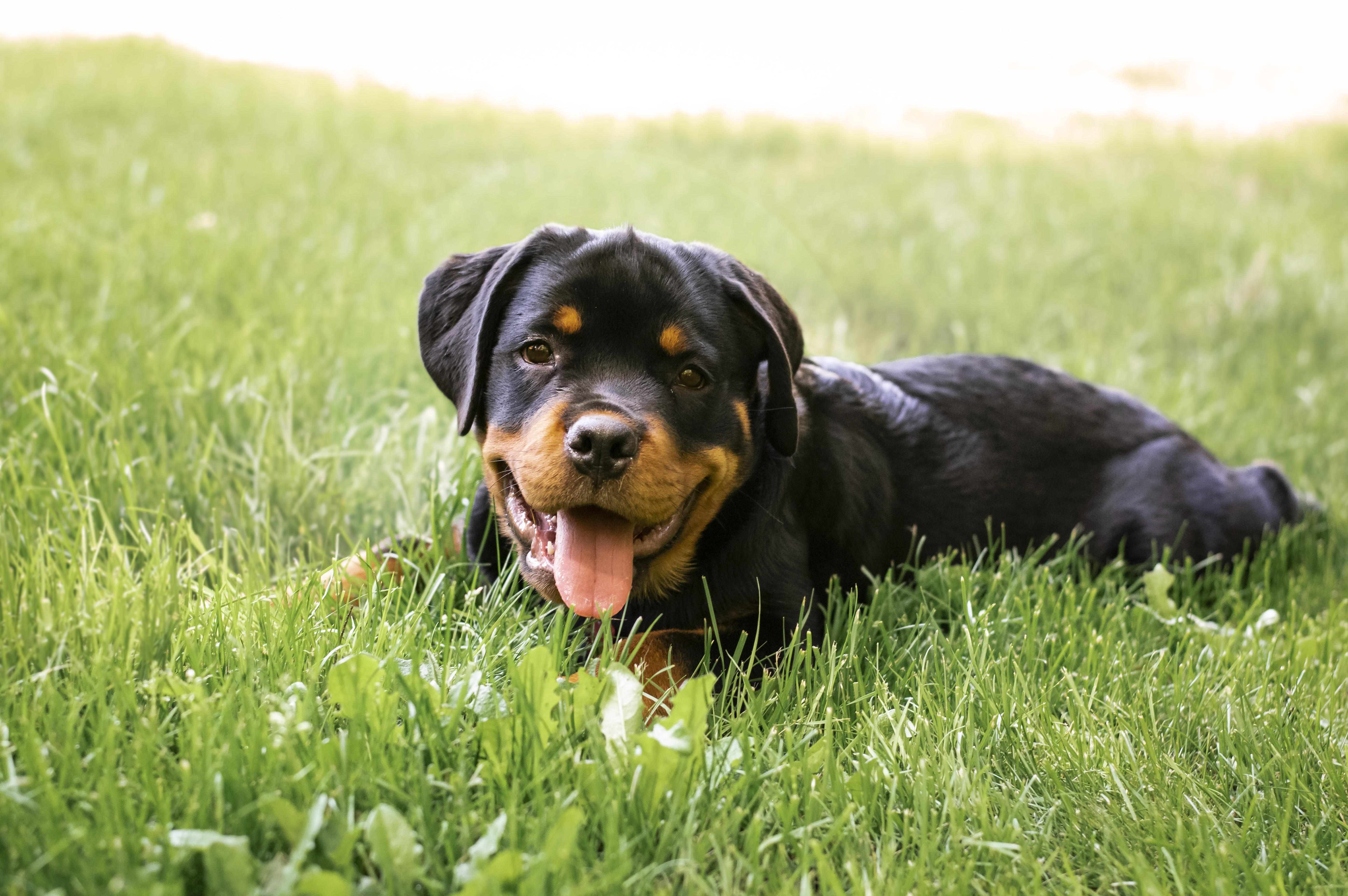 <p><strong>Ротвайлер</strong></p>  <p>Ротвайлерите са изключително силна порода кучета. Те имат добре развити пастирски и охранителни инстинкти. Поради страшния им външен вид те добиват лоша слава и много хора се боят от тях. Както при всяка друга порода, потенциално опасното поведение при ротвайлерите обикновено е в резултат на безотговорността на собствениците, липсата на грижи или липсата на социализация и правилно обучение. Независимо от това, силата на ротвайлера е нещо, което не бива да се подценява.</p>