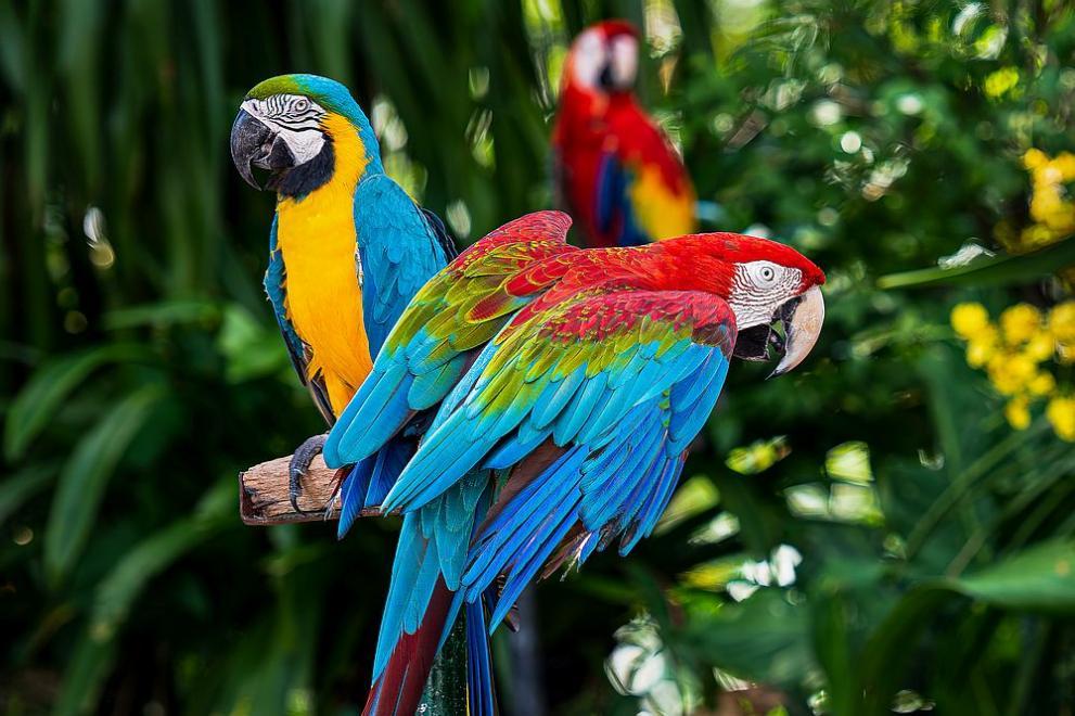 Сини папагали Макао