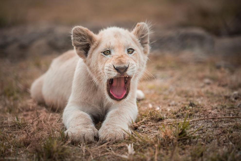 бяло лъвче