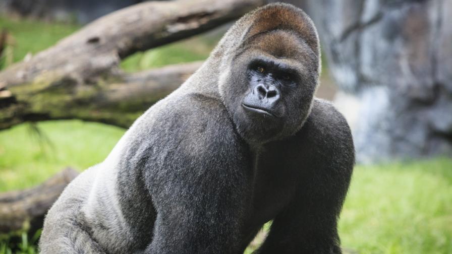 <p>За първи път: горили се разболяха от COVID-19</p>