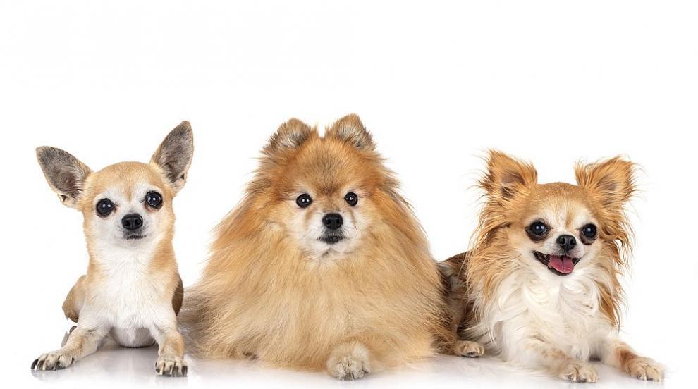 Дребни породи кучета, подходящи за домашни любимци...