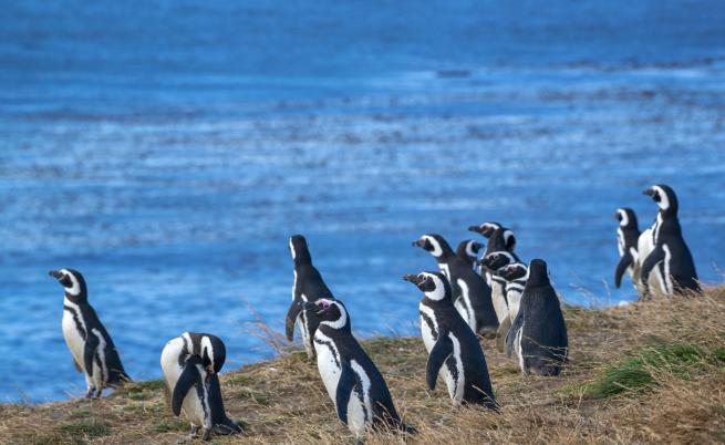 Каква опасност грози бебетата пингвини