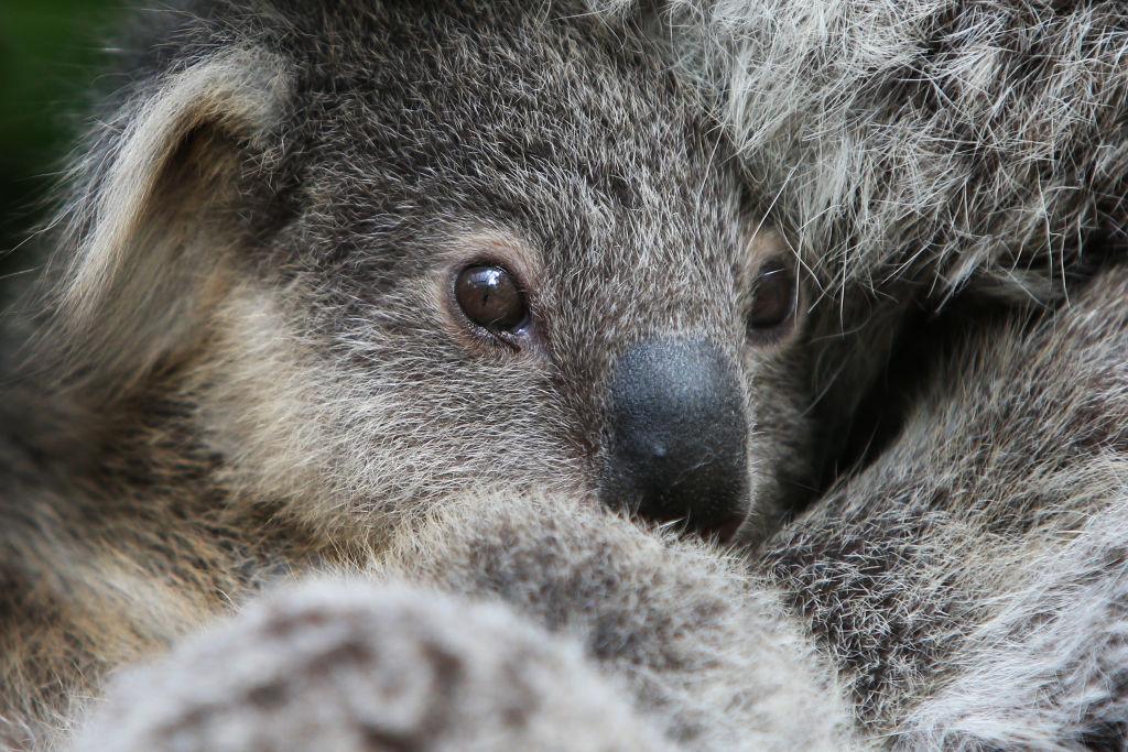 Малкият Хъмфри е роден в зоопарка Таронга в Сидни, Австралия
