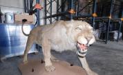 Откриха препариран лъв във фирма в Разград (СНИМКИ)