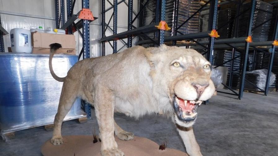 Откриха препариран лъв във фирма в Разград