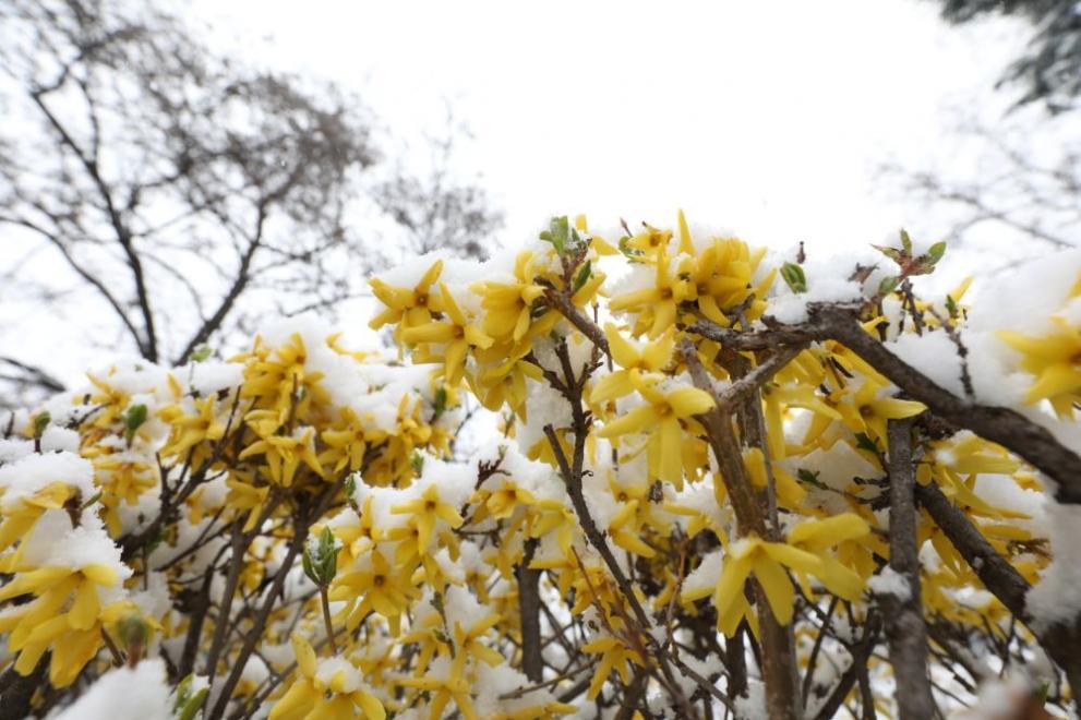 сняг цветя