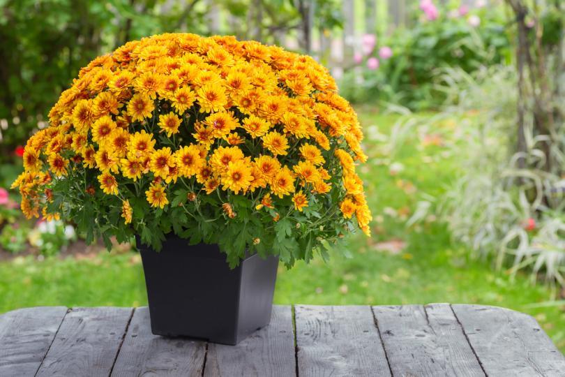 <p>Хризантема<br /> Тези цветя помагат да се поддържа любов и разбирателство в семейната двойка. За самотната жена това цвете й дава самочувствие и й &bdquo;помага&ldquo; по-бързо да намери сродна душа. Цветето обича редовното поливане.</p>