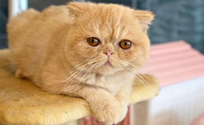 Екзотична късокосместа котка