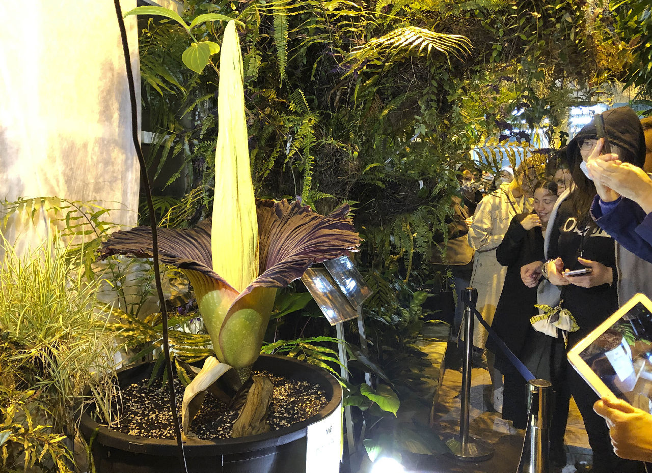 <p>Застрашено трупно цвете цъфна в ботаническа градина във Варшава.</p>