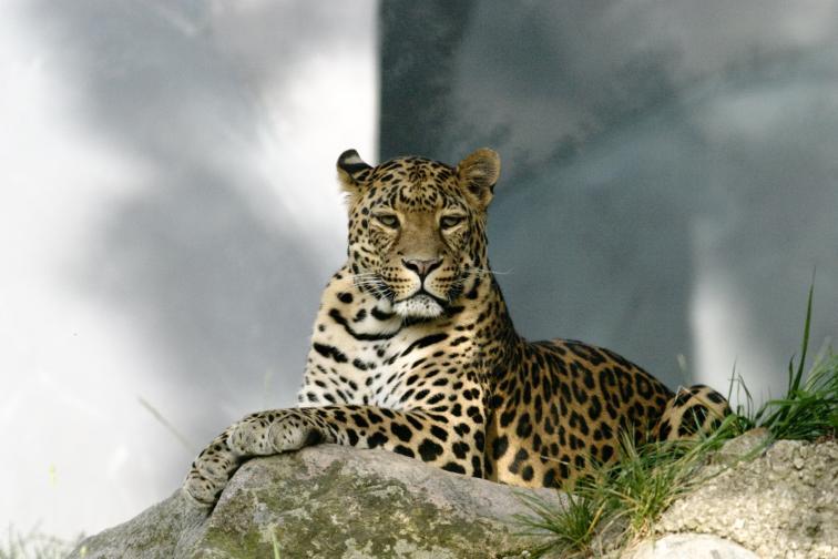 Амурски леопард