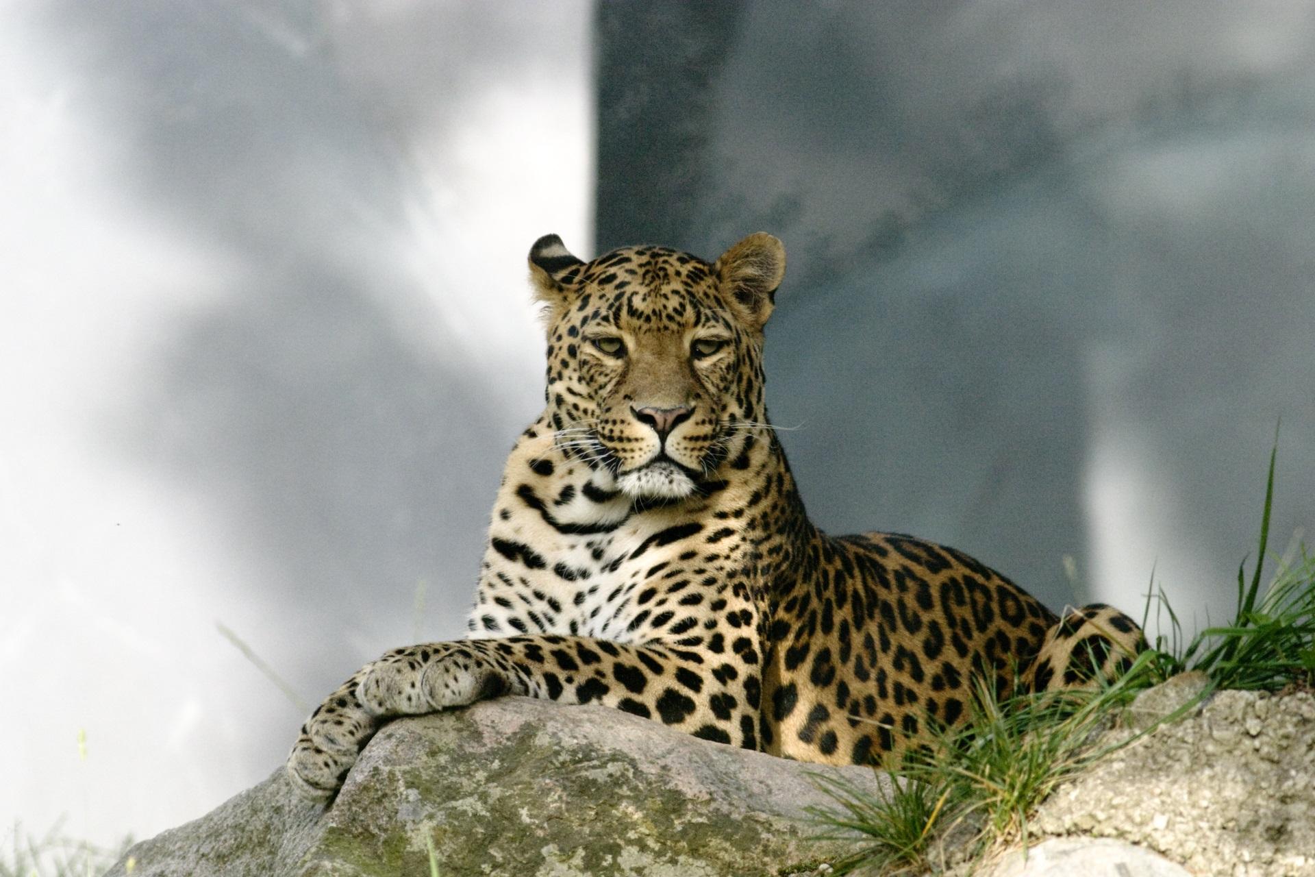 <p><strong>Амурски леопард</strong></p>  <p><u>Статус: критично застрашен</u></p>  <p>Докато повечето леопарди живеят в Африка, този рядък подвид е успял да оцелее в Далечния Изток на Русия. Заради бракониерство днес в природата са останали едва 84 екземпляра.</p>