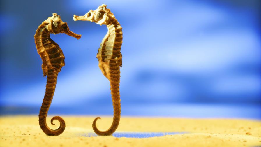 морско конче морски кончета