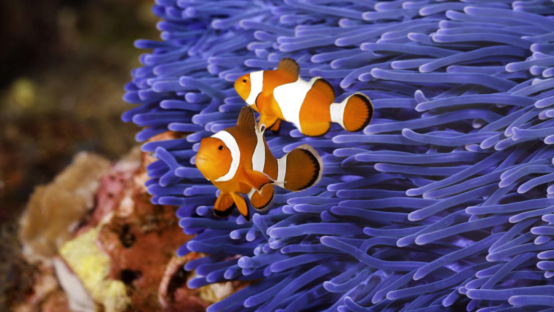 <p><strong>Риба клоун &ndash; смяна на пола</strong></p>  <p>Тези риби са хермафродити и първоначално се развиват като мъжки. В стадото има една самотна женска, която обикновено е по-голяма и доминира над останалите. Най-едрият мъжки е втори в командването и единственият, който се чифтосва с женската. Ако женската умре, този мъжки ще смени пола си и ще стане новият женски лидер, продължавайки цикъла.</p>