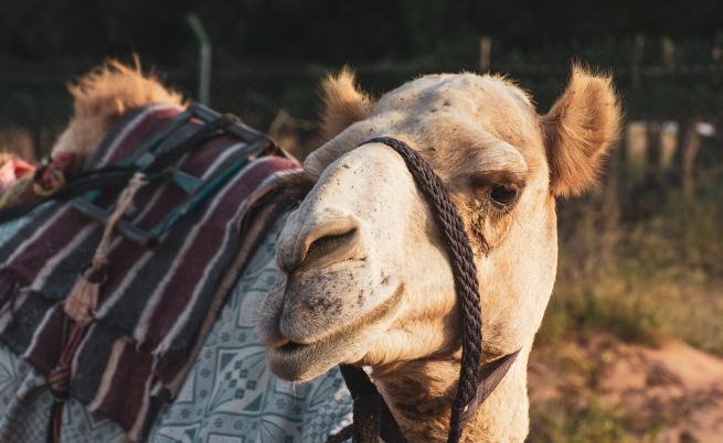 Четири двугърби камили са най-новите обитатели на зоопарка в София
