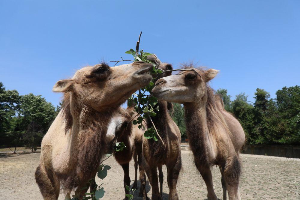 """Четири нови двугърби камилипристигнаха в столичния зоопарк от зоологическата градина """"Веспрем"""" в Унгария"""