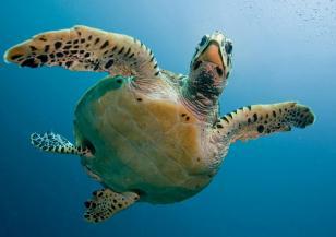 Пластмасата в океаните е голяма заплаха за живота на морските костенурки