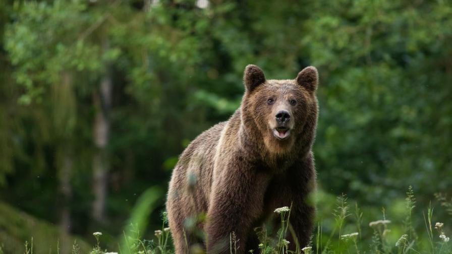 Една убита мечка стана национален въпрос в Румъния