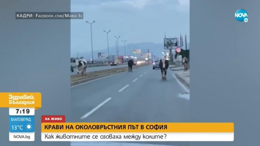 Крави затрудняват движението на Околовръстния път в София