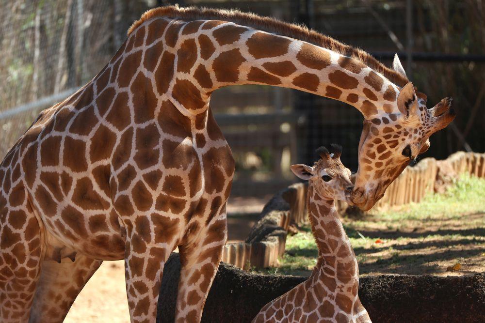 Майка се грижи за малкото си жирафче в зоопарка в Пърт, Австралия