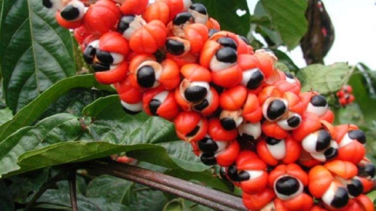 гуарана растителен продукт антиоксиданти кофеин енергийни напитки тонизиране умора афродизиак