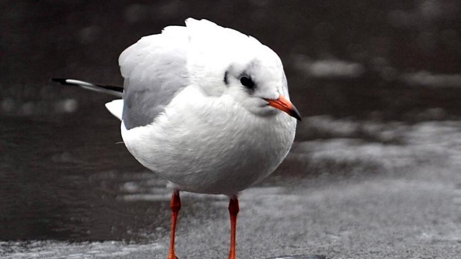 В Англия обявяват война на чайките