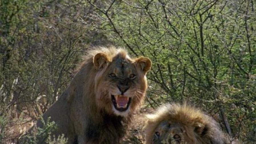 Лъвове недоволстват, че са нарушили идилията им