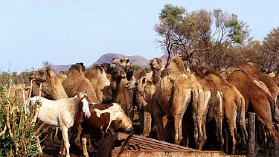 Пак искат геноцид за камилите в Австралия