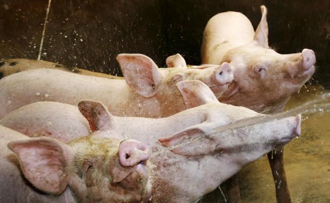 Алтернативата: Свинско в епруветка