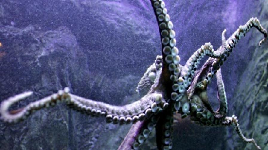 В мастилото на октопода